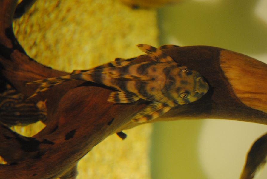 Peckoltia vittata L015 12,14 cm