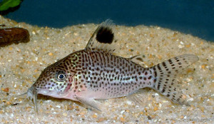 corydoras_leopardus_species_large